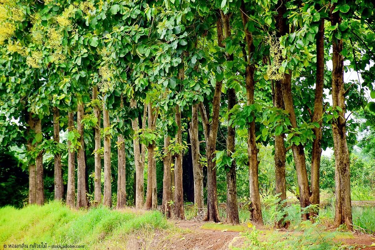 Der Teakbaum wird bis zu 40 Meter hoch